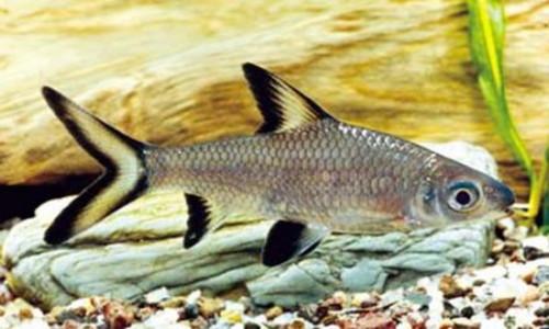 барбус акулий или акулий балу (Balantiocheilus melanopterus)