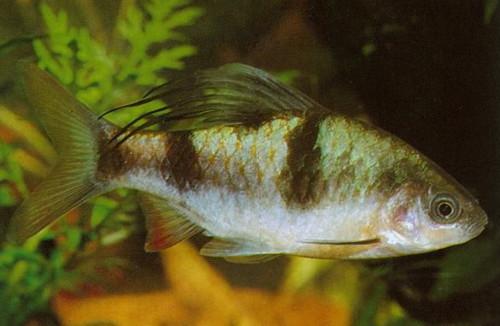 барбус арулиус или барбус косицеплавничный (Barbus arulius)
