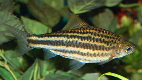 барбус линейный или барбус четырехлинейный (Puntius lineatus, barbus lineatus)