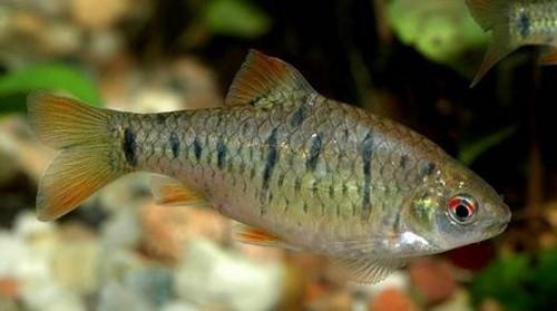 барбус зеленый (Barbus semifasciolatus)