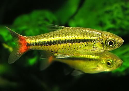 расбора краснохвостая (Rasbora borapetensis)