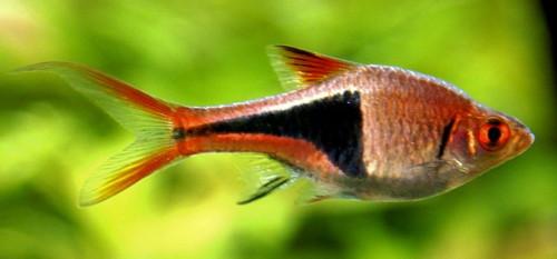 расбора клинопятнистая или расбора гетероморфа (Rasbora heteromorpha, Trigonostigma heteromorpha)