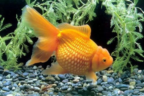 Золотая рыбка – Жемчужинка