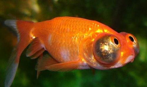 Золотая рыбка – Звездочет или небесное око