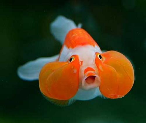 Золотая рыбка - водяные глазки