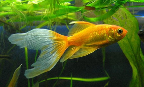 Золотая рыбка – Комета