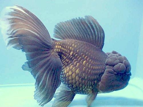 Золотая рыбка - помпон